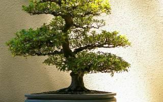 Как выращивать бонсай из семян в домашних условиях?