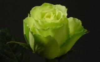 Зеленые розы фото
