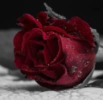 Бордовые розы фото