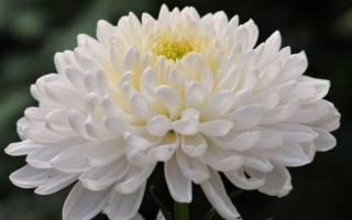 Розовые хризантемы фото