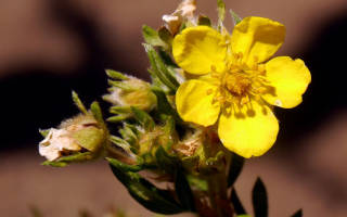 Травянистая лапчатка фото