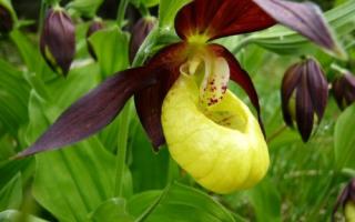 Венерин башмачок фото