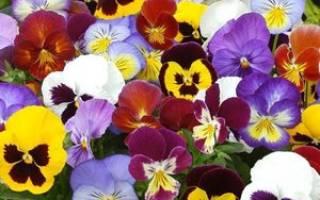Виола крупноцветковая фото