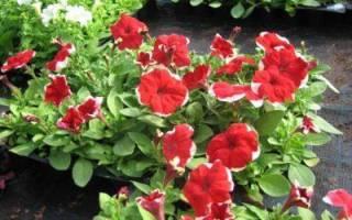 Многоцветковая петуния фото