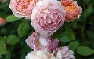 Розы «Нью-Джерси» фото