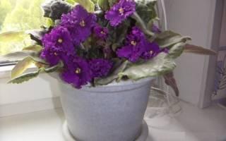 Фиолетовые и сиреневые фиалки
