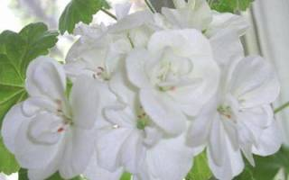 Белые пеларгонии фото