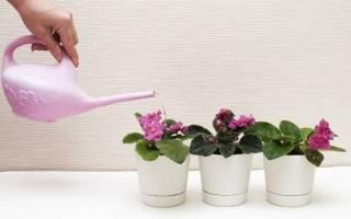 Как правильно полить фиалку (сенполию)?
