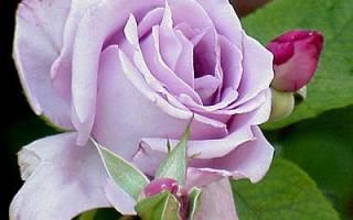 Чайно-гибридные розы фото