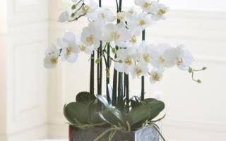 Белые орхидеи фото