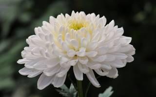 Белые хризантемы фото