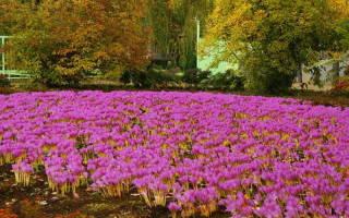 Осенние крокусы фото