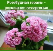 Пеларгония розебудная фото