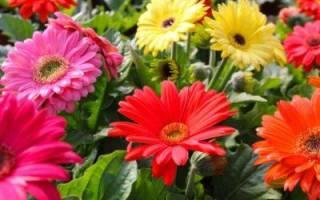Герберы садовые фото