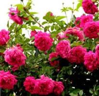 Роза «Лагуна» фото