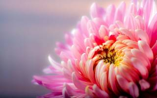 Многолетние хризантемы фото