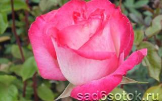 Сорта роз фото