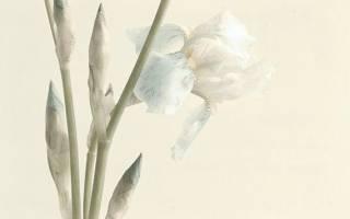 Белые ирисы фото