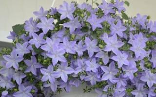 Комнатный цветок кампанула