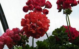 Герань тюльпановидная фото
