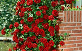 Роза «Сантана» фото