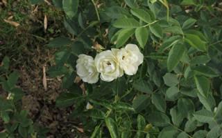Полиантовые розы фото