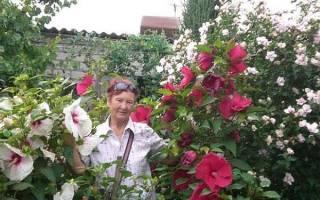 Все о гибискусе садовом